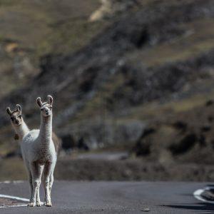 Llamas Around Cusco
