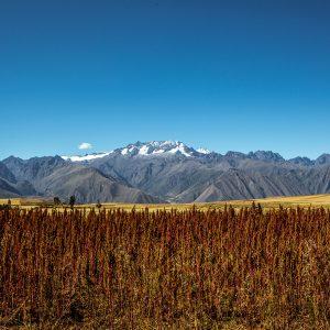 Red Quinoa Fields