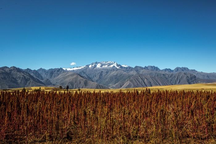 red-quinoa-fields