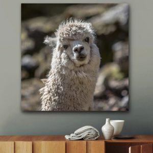 Staring Llama